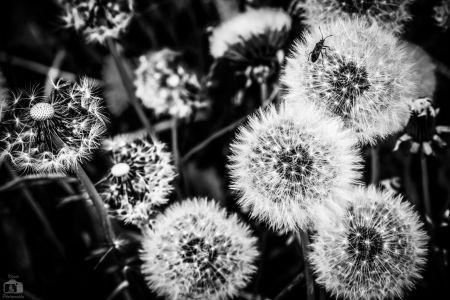 Dandelions Closeup Bw