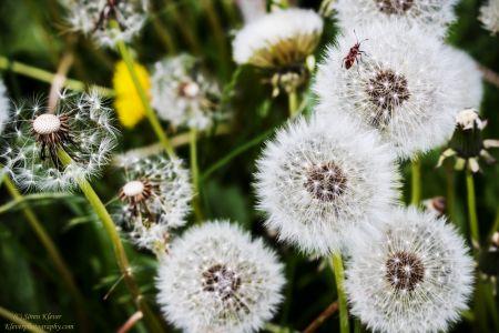 Dandelions Closeup V2