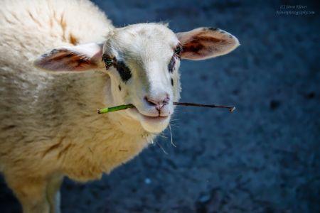 Sheep V2